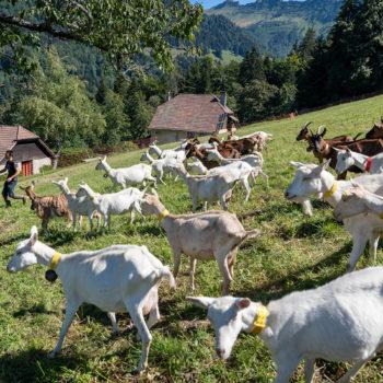 La Biquette - Chèvres